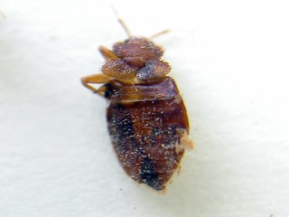 Bed Bug Pesticide Continued Exposure