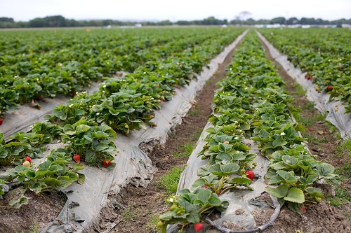 Endless fields of strawberries. | by Gary Rides Bikes
