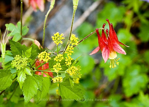 columbine_2 | by PattyHankins