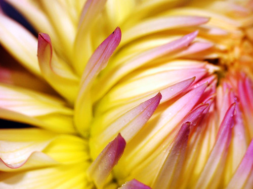 Dahlia 4 | by sminky_pinky100 (In and Out)