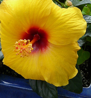 Yellow Hibiscus | by Heritage Museums & Gardens