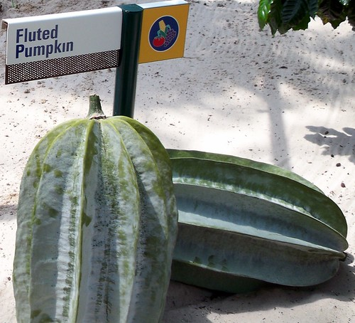 Fluted Pumpkin In Disneys The Land Greenhouse