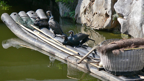 Cormorants used for fishing on the Li River | by Andy Siitonen