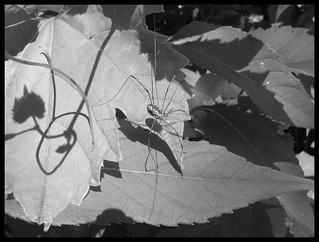 harvester bug and shadow B&W | by goosie~gander (keeping in touch when I can)