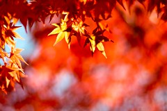 Bright red leaves | by shinichiro*