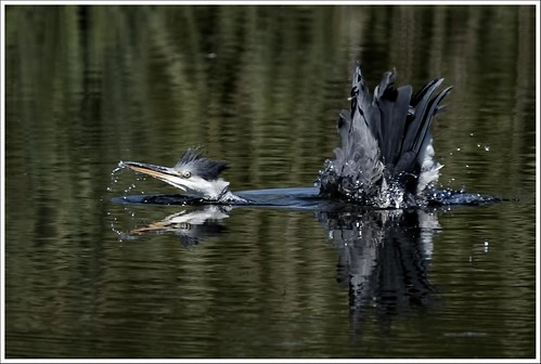 Heron doing the breast stroke | by Richard C Bailey