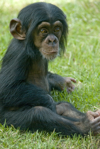 Baby Chimp | by urbanmenagerie