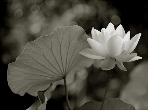 White lotus flower lotus86 by bahman farzad