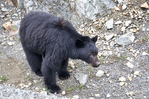 black bear | by fog and swell