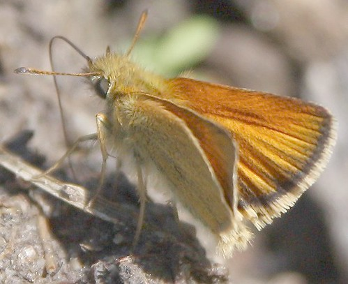 European Skipper