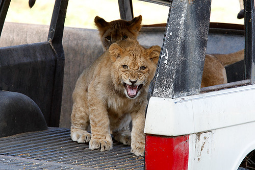 Lion Cub_F9P7000 | by day1953