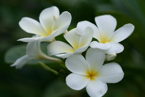 Flowers / Plumeria