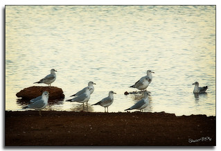 Gulls at Dusk | by ShutterByMe