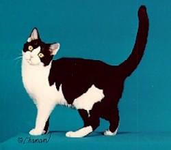 CFA Cat Breed : Black & White AMERICAN SHORTHAIR | Grand Cha… | Flickr