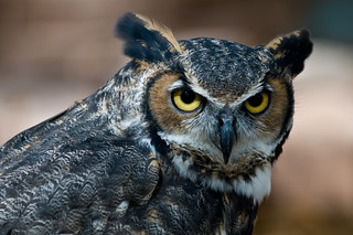 Great Horned Owl | by NatureWalk