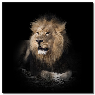 Portrait of a Lion | by SallyT.