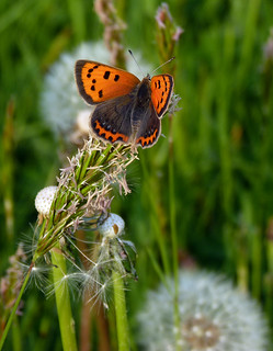 Small Copper | by Garry1968