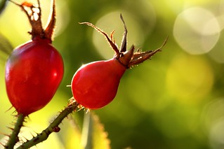 Rose Hip | by Little Blue Wren