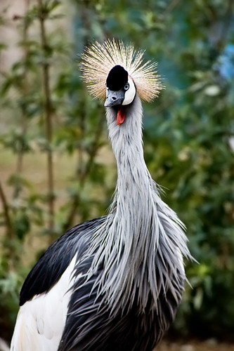 African Crowned Crane | by John FotoHouse