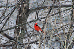 cardinal in the trees | by SouleMama