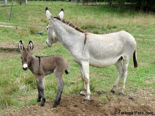 The Daily Donkey 133 - Daphne and Baby Fernando | by Farmgirl Susan
