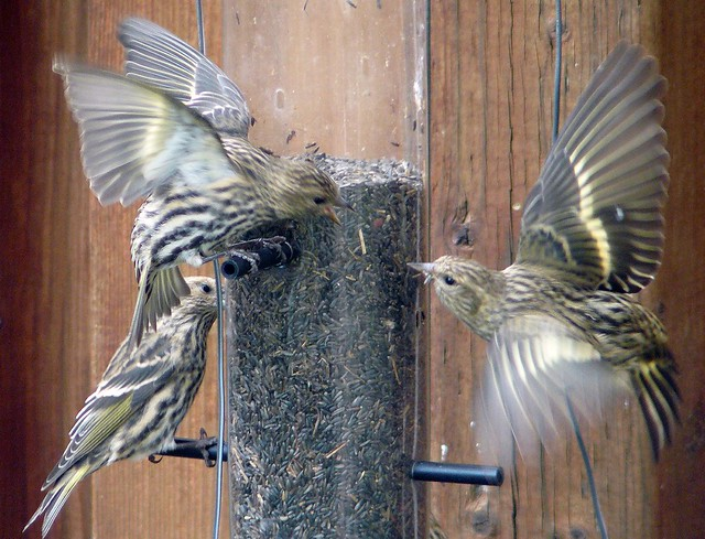 Pine Siskin ``Wave Display``