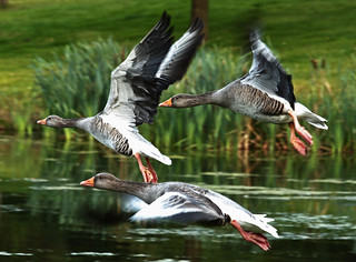 Greylag Geese Flying | by nathamanath