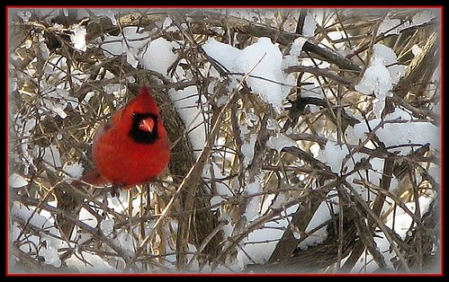 Red against White-Winter Delight | by sillyfrog :-)