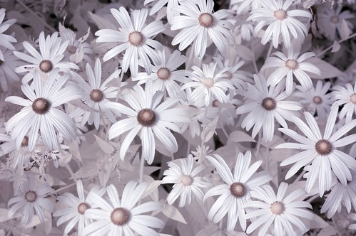 Infrared Macro of flowers | by Coggleswort00