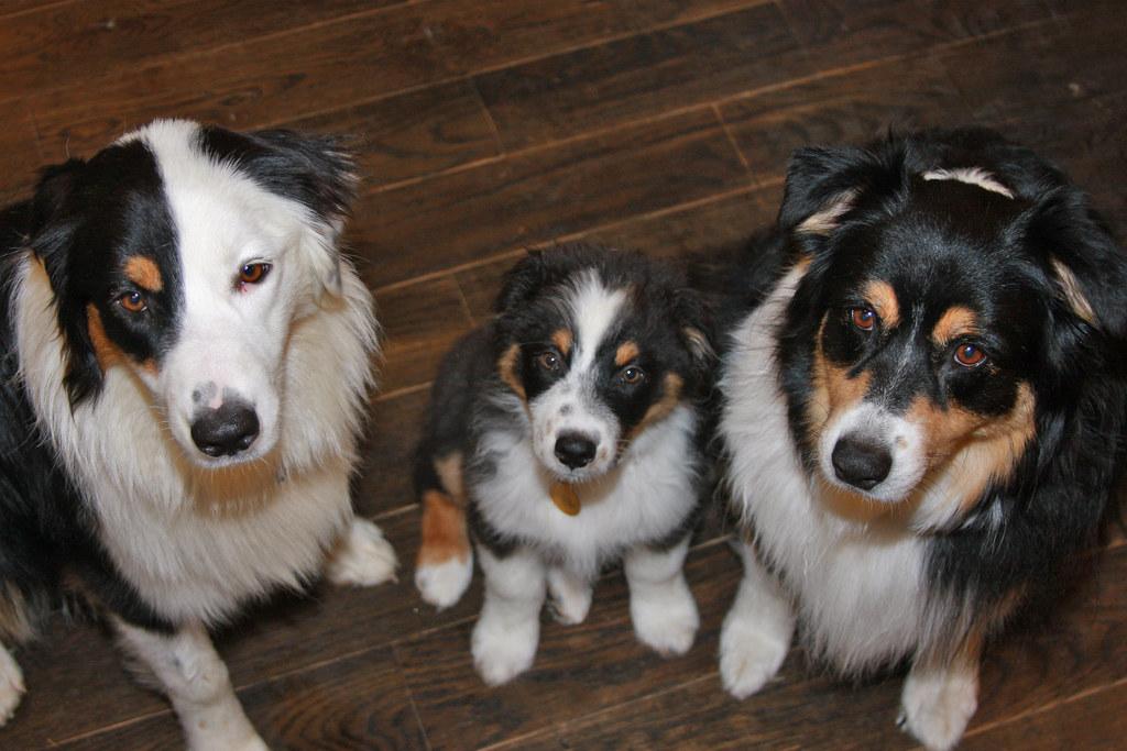 Australian Shepherd Weight Chart: My Three Black Tri Australian Shepherds | Three black-tri Auu2026 | Flickr,Chart