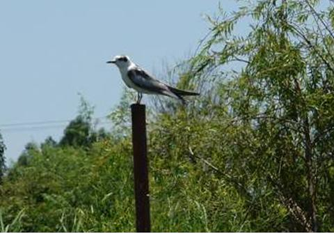 White-winged tern | by East Asia & Pacific on the rise - Blog