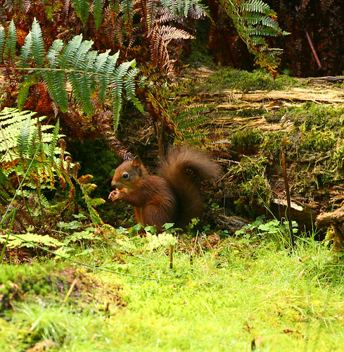 Juvenile Red Squirrel Aberfoyle | by bsloan