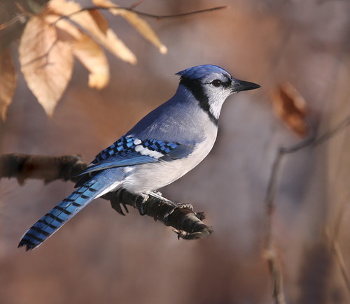 The Blue Jay | by The Nature Nook