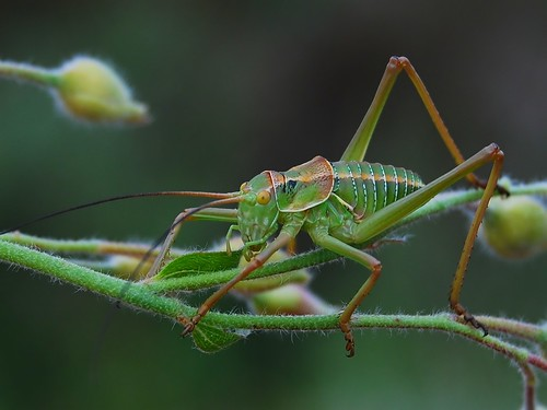 Grasshopper | by anacm.silva