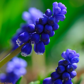 Grape Hyacinths (20080504-134318-PJG) | by DrgnMastr