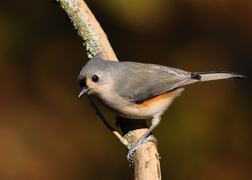 Tufted Titmouse-HBW! | by Ed Schneider
