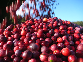 Cranberry Harvest | by Happy Zombie
