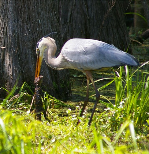 Great Blue eating a baby alligator | by cdg images