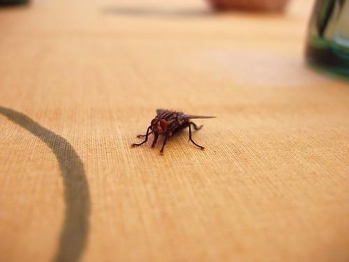 Muscomorpha solitaria sul tavolo di un rifugio altoatesino flickr - Video sesso sul tavolo ...
