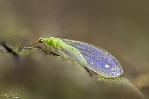 Green Lacewing | by The Hike Guy