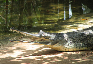 The Gharial | by wildxplorer