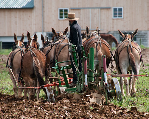 Amish Farmer and Mules | by Bob Jagendorf