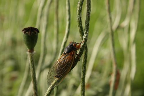 Periodical cicada - Magicicada cassini - Brood XIV - 2008