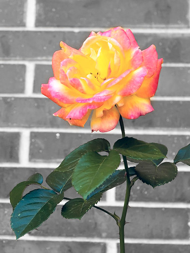 0926 Last Rose | by iowa_spirit_walker