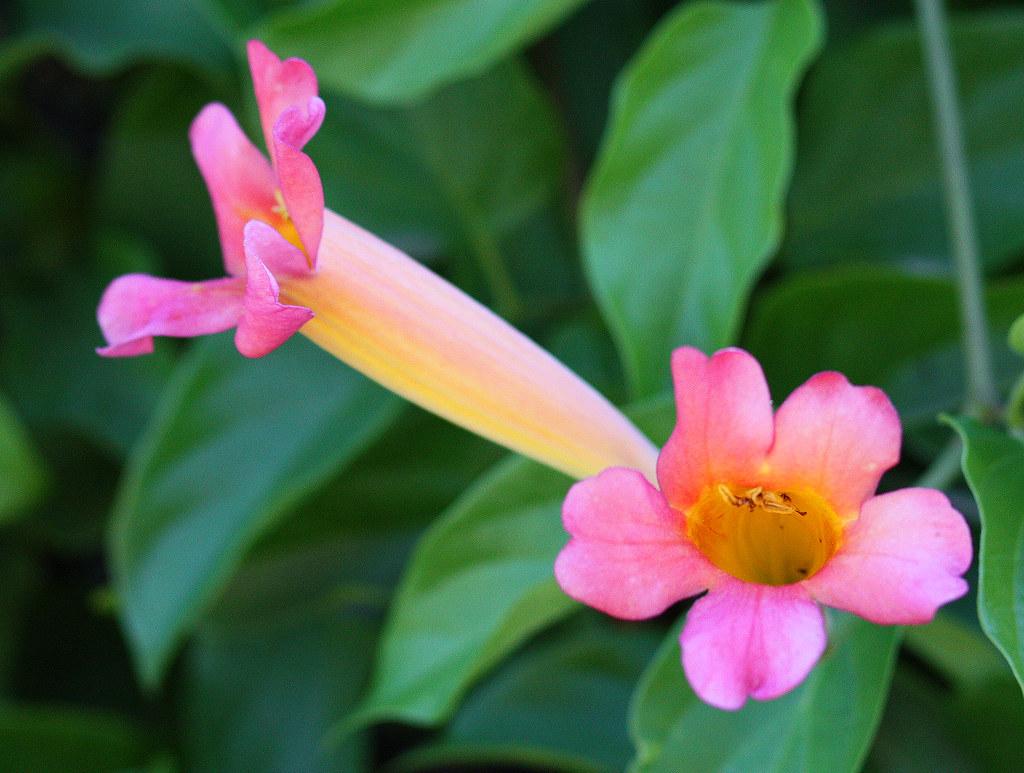 Pink trumpet flowers chuck flickr pink trumpet flowers by chuck hunts mightylinksfo