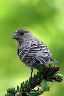 Immature House Finch | by DragonSpeed