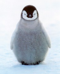 baby Penguin | by tnorm11