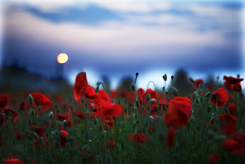 Poppies field II | by ikke_006