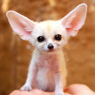 Fennec fox | by floridapfe