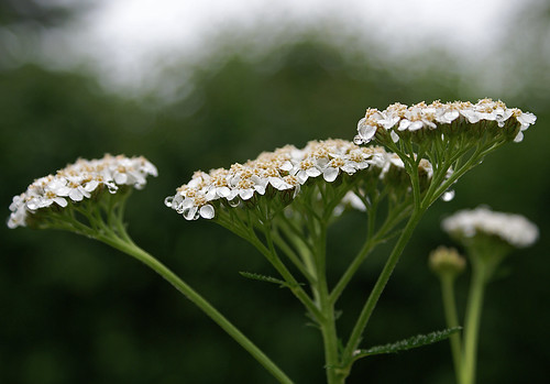Yarrow | by randihausken